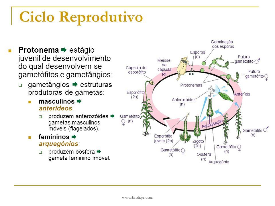 www.bioloja.com Desenvolvimento Embriófitas  ocorrência de embrião multicelular e matrotrófico:  nutrido pelo gametófito feminino.