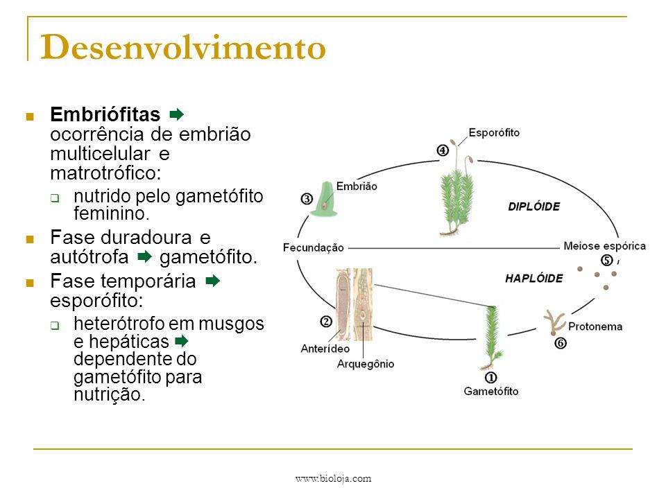 www.bioloja.com Desenvolvimento Embriófitas  ocorrência de embrião multicelular e matrotrófico:  nutrido pelo gametófito feminino. Fase duradoura e