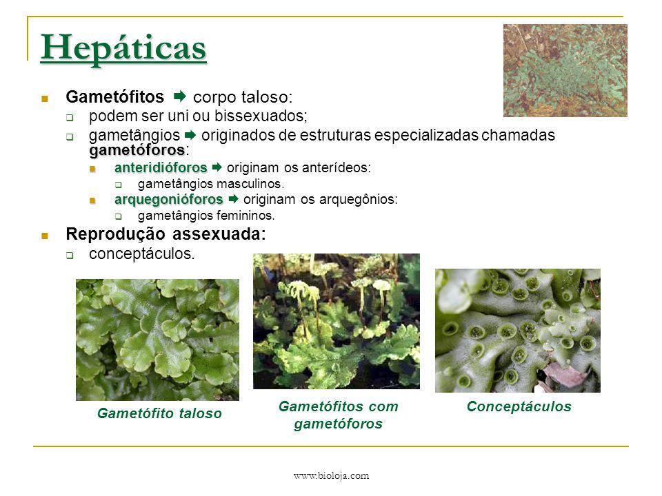www.bioloja.com Antóceros Gametófitos  corpo taloso:  podem ser uni ou bissexuados; Esporófito:  estrutura autótrofa vertical e alongada  esporângio formado por cápsula longa e cilíndrica.