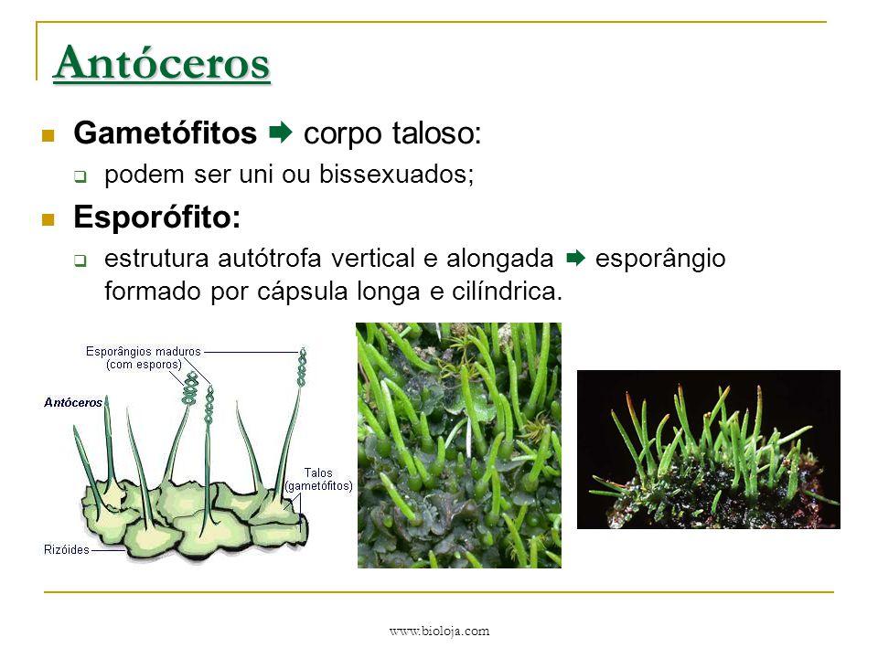www.bioloja.com Antóceros Gametófitos  corpo taloso:  podem ser uni ou bissexuados; Esporófito:  estrutura autótrofa vertical e alongada  esporâng