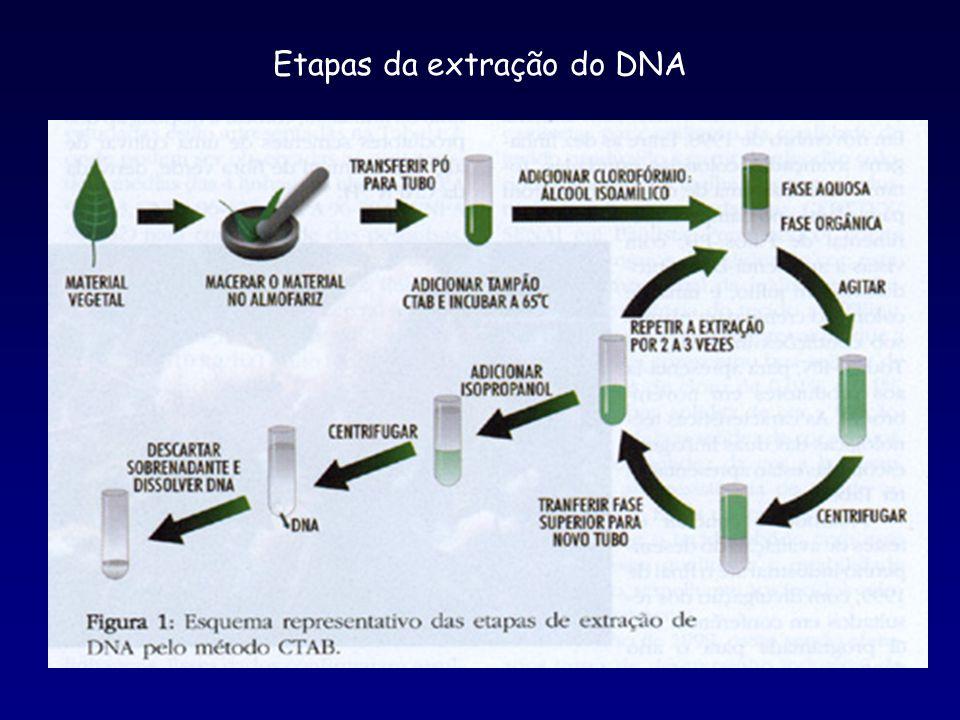  Quantificação e diluição do DNA  Amplificação do DNA Volume final de 13  l.