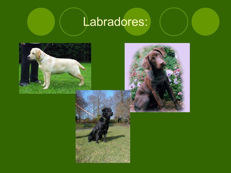 Labradores: