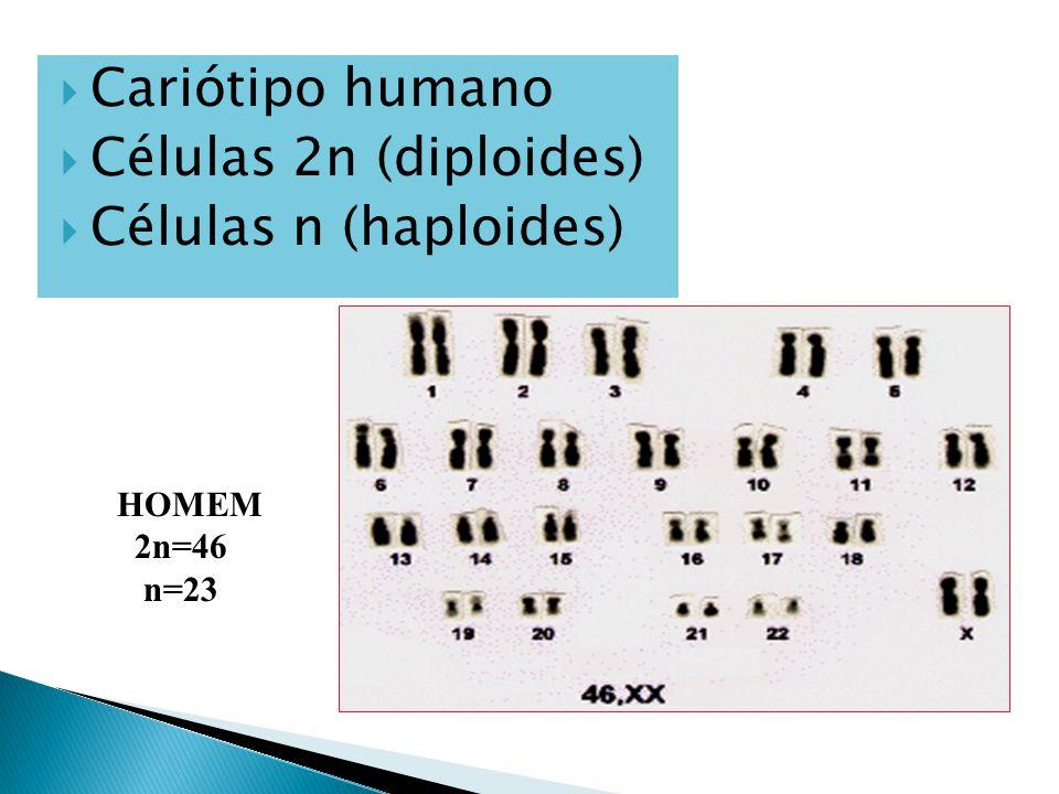  Cariótipo humano  Células 2n (diploides)  Células n (haploides) HOMEM 2n=46 n=23