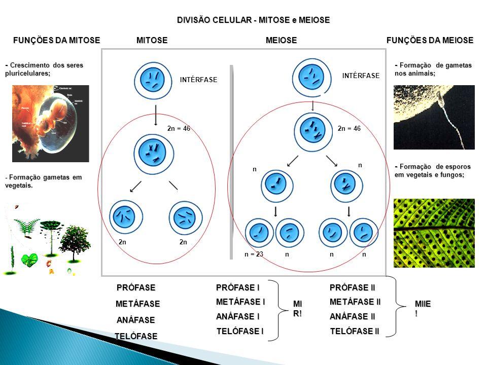 DIVISÃO CELULAR - MITOSE e MEIOSE 2n = 46 INTÉRFASE 2n INTÉRFASE 2n = 46 n n n = 23nnn FUNÇÕES DA MITOSE - Crescimento dos seres pluricelulares; - Formação gametas em vegetais.