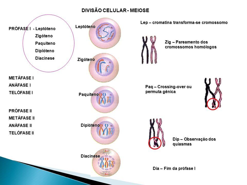 DIVISÃO CELULAR - MEIOSE PRÓFASE I - Leptóteno Zigóteno Zigóteno Paquíteno Paquíteno Diplóteno Diplóteno Diacinese Diacinese Lep – cromatina transforma-se cromossomo METÁFASE I ANÁFASE I TELÓFASE I PRÓFASE II METÁFASE II ANÁFASE II TELÓFASE II Zig – Pareamento dos cromossomos homólogos Paq – Crossing-over ou permuta gênica Dip – Observação dos quiasmas Dia – Fim da prófase I Leptóteno Zigóteno Paquíteno Diplóteno Diacinese