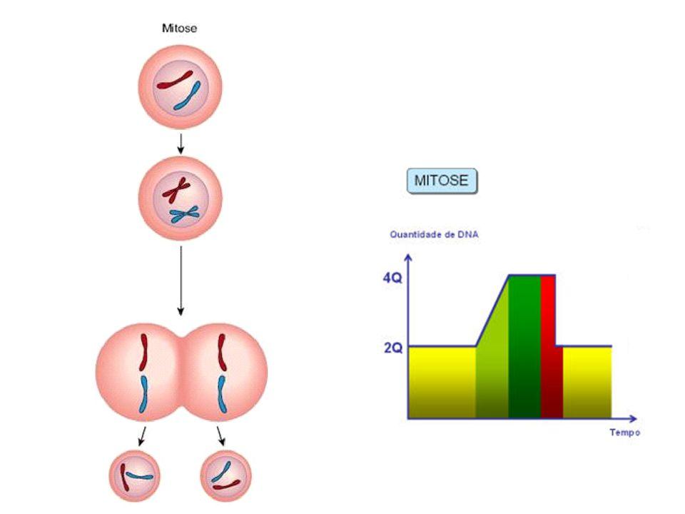 Meiose divisão reducional (R!) (reduz à metade o número de cromossomos das células) Ocorre somente em certas células diploides (2n) - células germinativas dos ovários e testículos e as células vegetais (esporos).