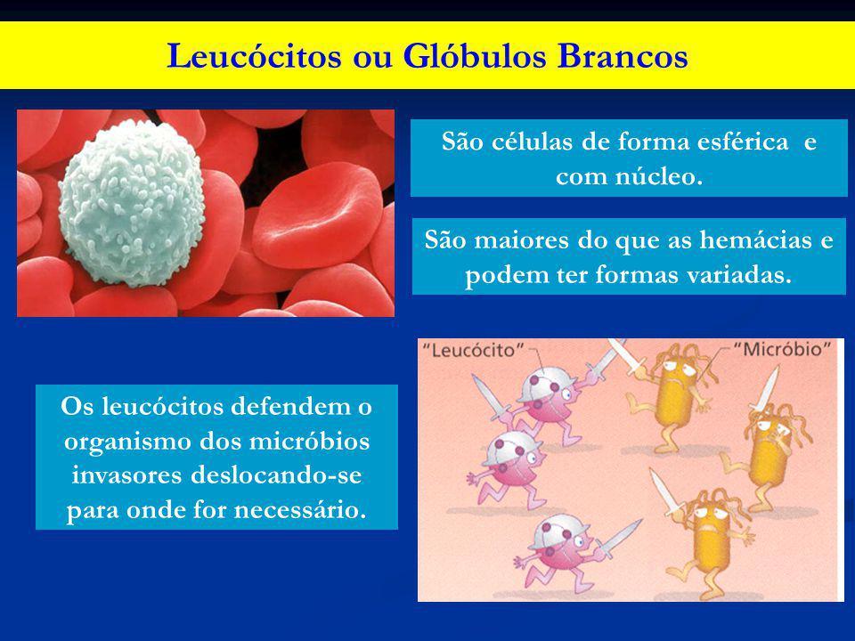 Leucócitos ou Glóbulos Brancos Os leucócitos defendem o organismo dos micróbios invasores deslocando-se para onde for necessário. São células de forma