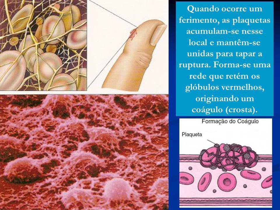 Quando ocorre um ferimento, as plaquetas acumulam-se nesse local e mantêm-se unidas para tapar a ruptura. Forma-se uma rede que retém os glóbulos verm