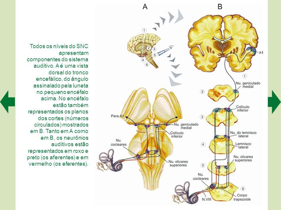 A cóclea, órgão receptor do sistema auditivo, fica no labirinto (A), uma estrutura membranosa incrustada no osso temporal. O corte de uma volta da cóc