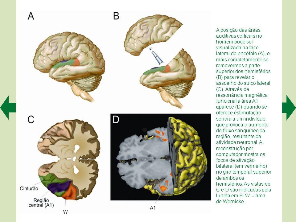 Todos os níveis do SNC apresentam componentes do sistema auditivo. A é uma vista dorsal do tronco encefálico, do ângulo assinalado pela luneta no pequ