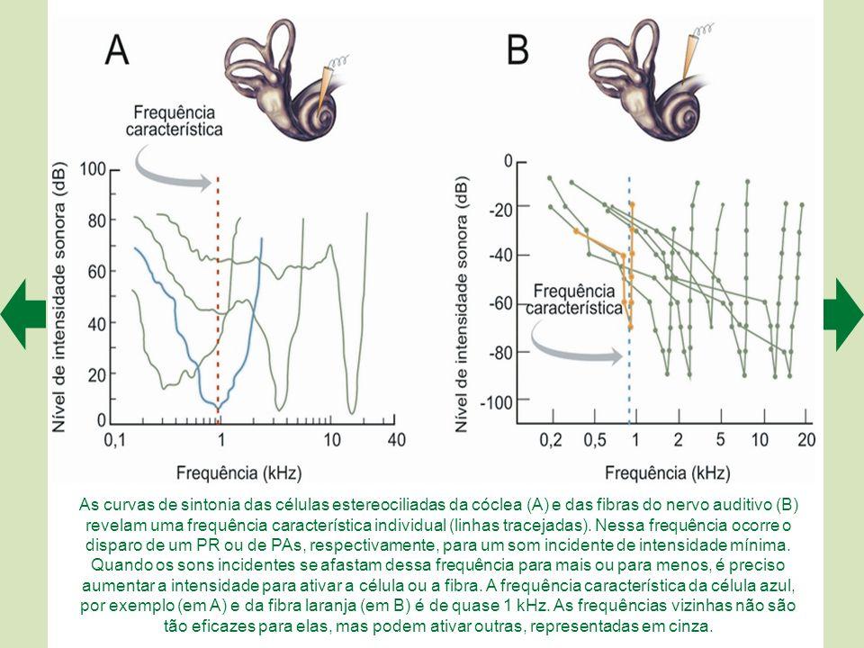 A tonotopia representa uma especialização da membrana basilar: os sons mais graves fazem vibrar o ápice (A), e os mais agudos movimentam a base (B). N