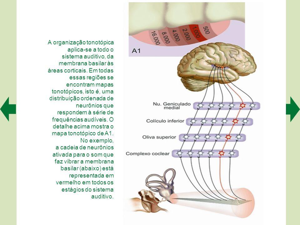As curvas de sintonia das células estereociliadas da cóclea (A) e das fibras do nervo auditivo (B) revelam uma frequência característica individual (l