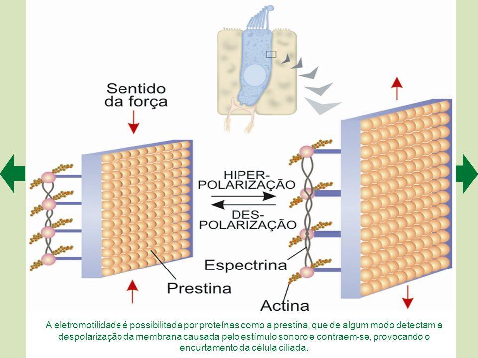 A organização tonotópica aplica-se a todo o sistema auditivo, da membrana basilar às áreas corticais. Em todas essas regiões se encontram mapas tonotó