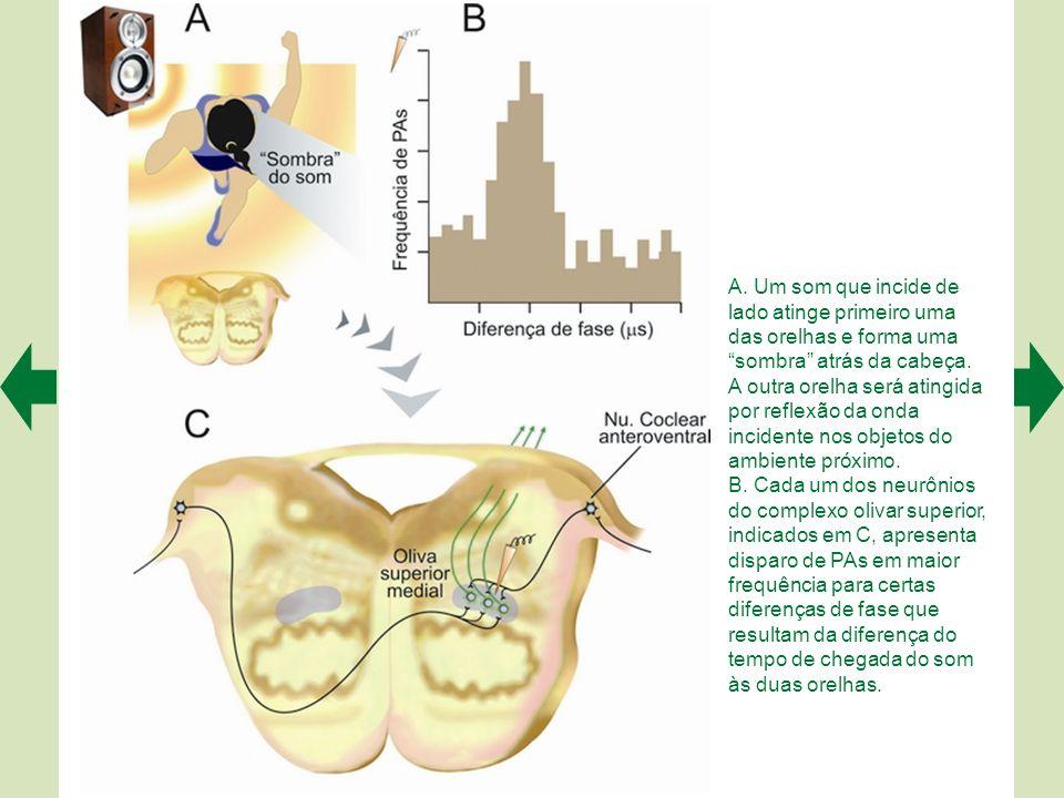 Quando um som complexo entra no ouvido, faz vibrar ao mesmo tempo diversas partes da membrana basilar, e assim ativa – em paralelo – as regiões tonotó