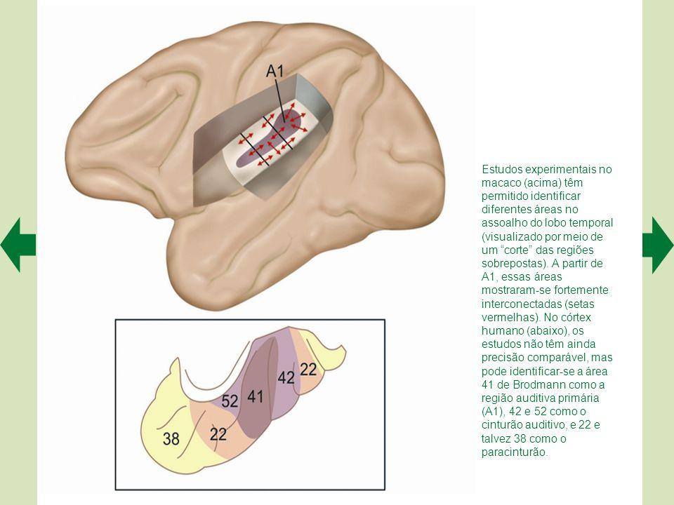 Os neurônios do núcleo olivar superior lateral detectam diferenças de intensidade dos sons incidentes em cada orelha, com a intervenção de neurônios i