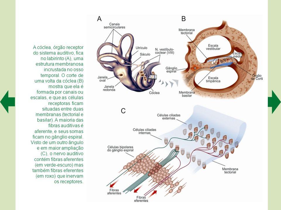 A.A fotomicrografia eletrônica mostra os estereocílios alinhados das células ciliadas externas.