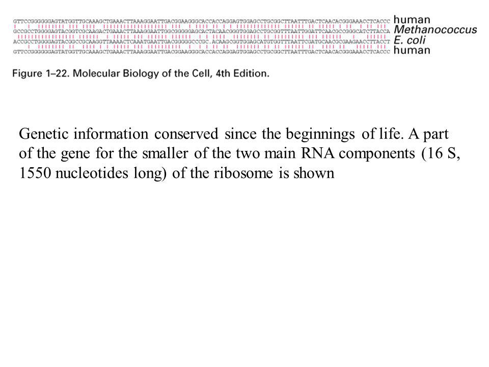 Genetic information conserved since the beginnings of life. A part of the gene for the smaller of the two main RNA components (16 S, 1550 nucleotides