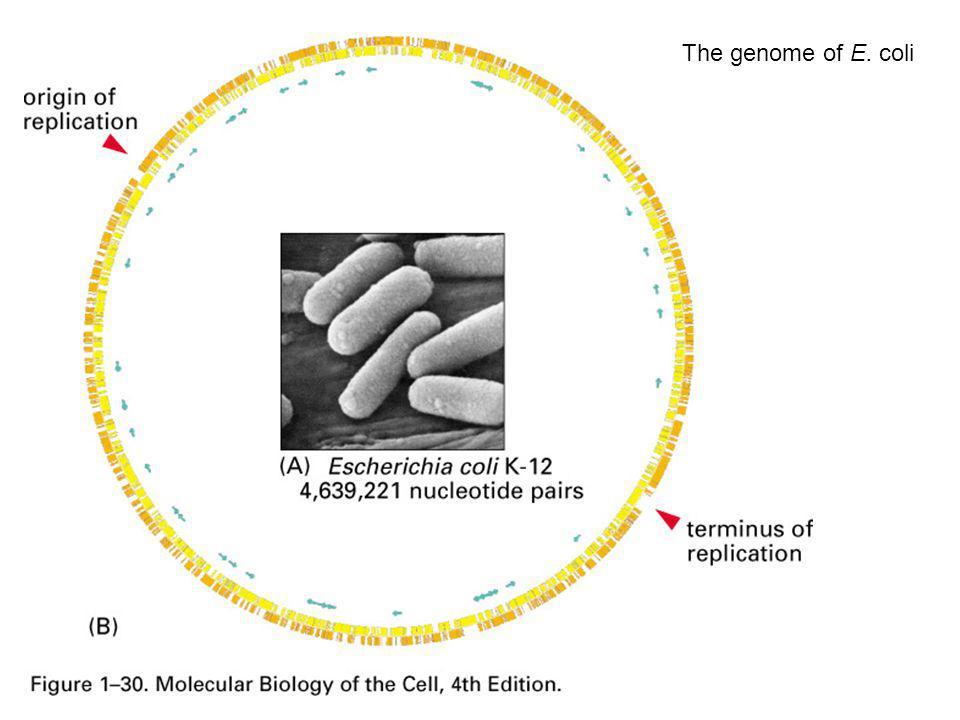 The genome of E. coli