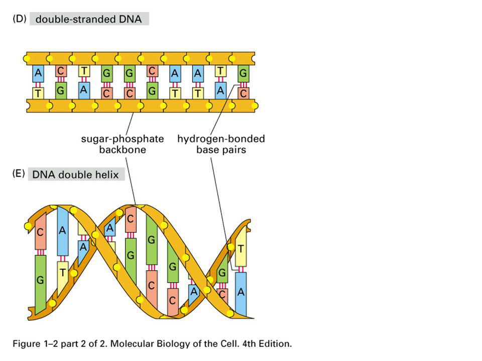 (...) it has been estimated that at least 18 % of all the genes in the present-day genome of E.