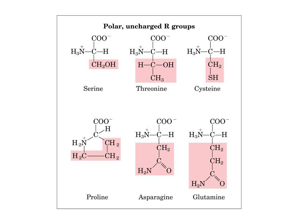 aas: classificações, qto ao radical Aminoácidos ácidos: Apresentam radicais com grupo carboxílico.São hidrófilos Dois aminoácidos, o ácido glutâmico e o ácido aspártico, possuem grupos carboxila em suas cadeias laterais, além daquele presente em todos os aminoácidosácido glutâmicoácido aspártico