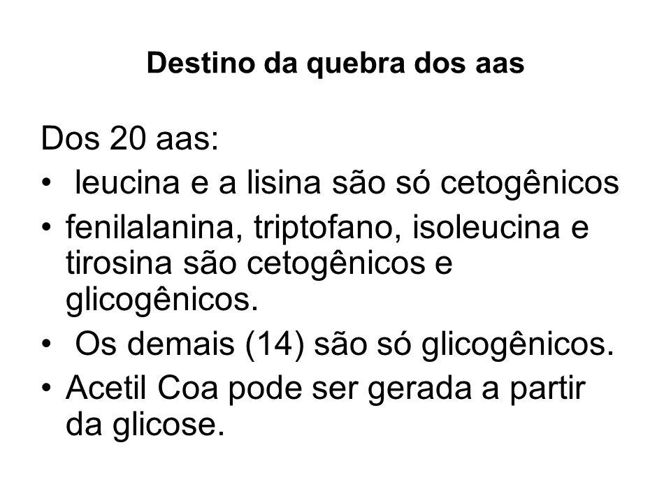 Destino da quebra dos aas Dos 20 aas: leucina e a lisina são só cetogênicos fenilalanina, triptofano, isoleucina e tirosina são cetogênicos e glicogên