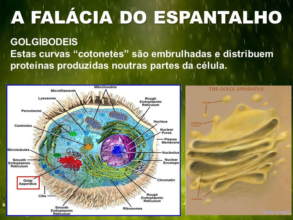 GOLGIBODEIS Estas curvas cotonetes são embrulhadas e distribuem proteínas produzidas noutras partes da célula.