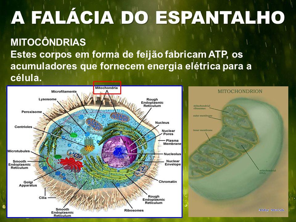 MITOCÔNDRIAS Estes corpos em forma de feijão fabricam ATP, os acumuladores que fornecem energia elétrica para a célula. A FALÁCIA DO ESPANTALHO
