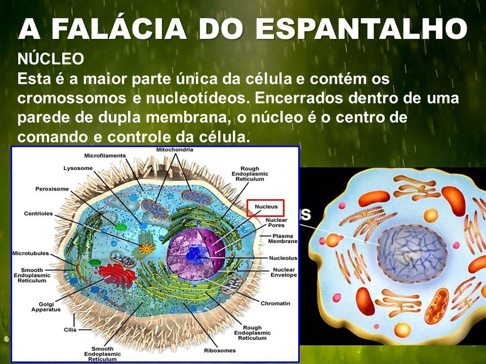 NÚCLEO Esta é a maior parte única da célula e contém os cromossomos e nucleotídeos. Encerrados dentro de uma parede de dupla membrana, o núcleo é o ce
