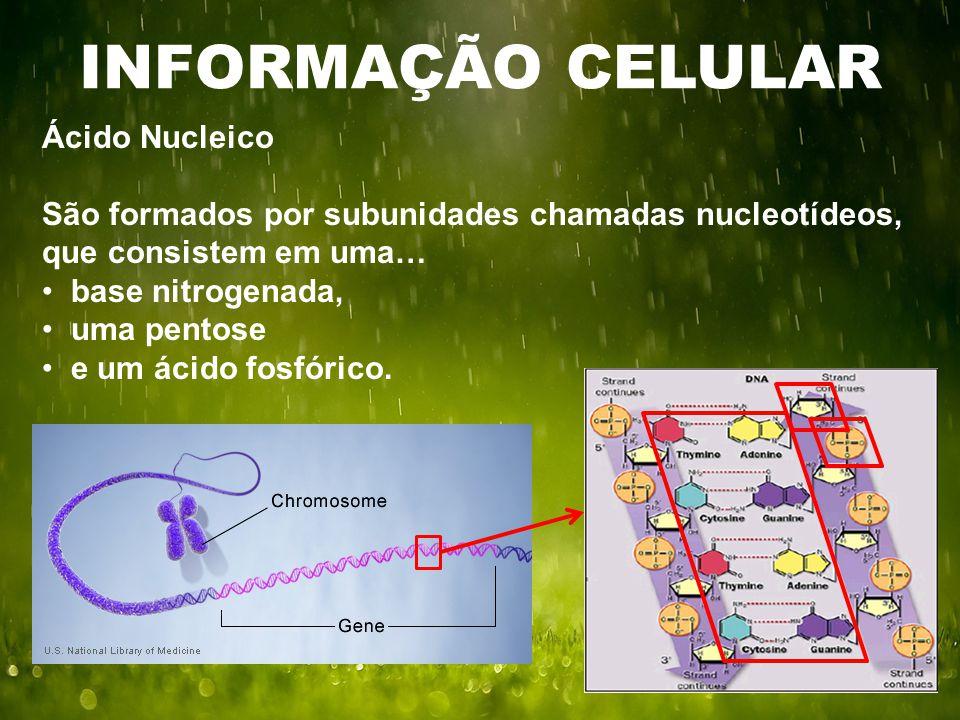 INFORMAÇÃO CELULAR Ácido Nucleico São formados por subunidades chamadas nucleotídeos, que consistem em uma… base nitrogenada, uma pentose e um ácido fosfórico.