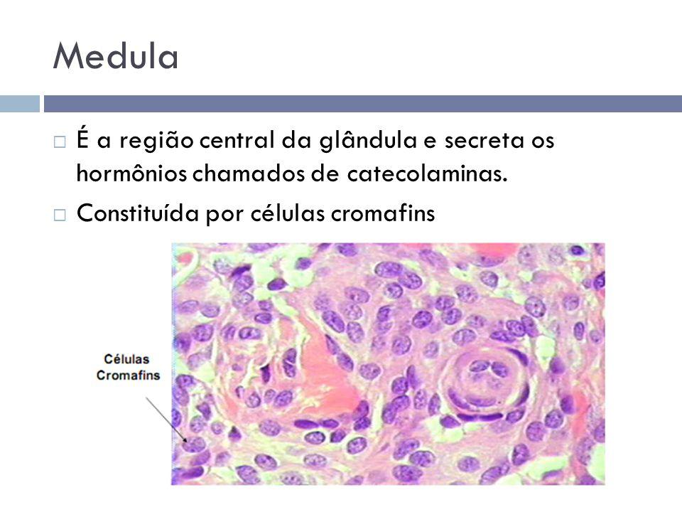 Medula  É a região central da glândula e secreta os hormônios chamados de catecolaminas.  Constituída por células cromafins