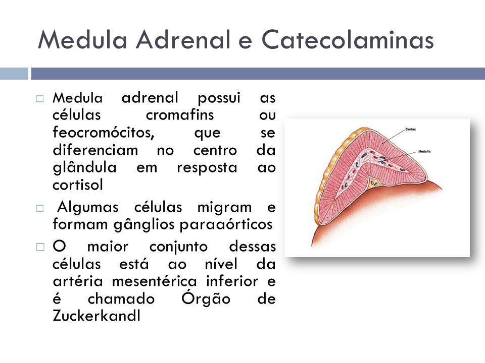  Catecolaminas – substâncias que possuem Catecol  A epinefrina é sintetizada e armazenada na medula até ser liberada na circulação  A norepinefrina é sintetizada não só na medula, como nos nervos periféricos simpáticos Medula Adrenal e Catecolaminas