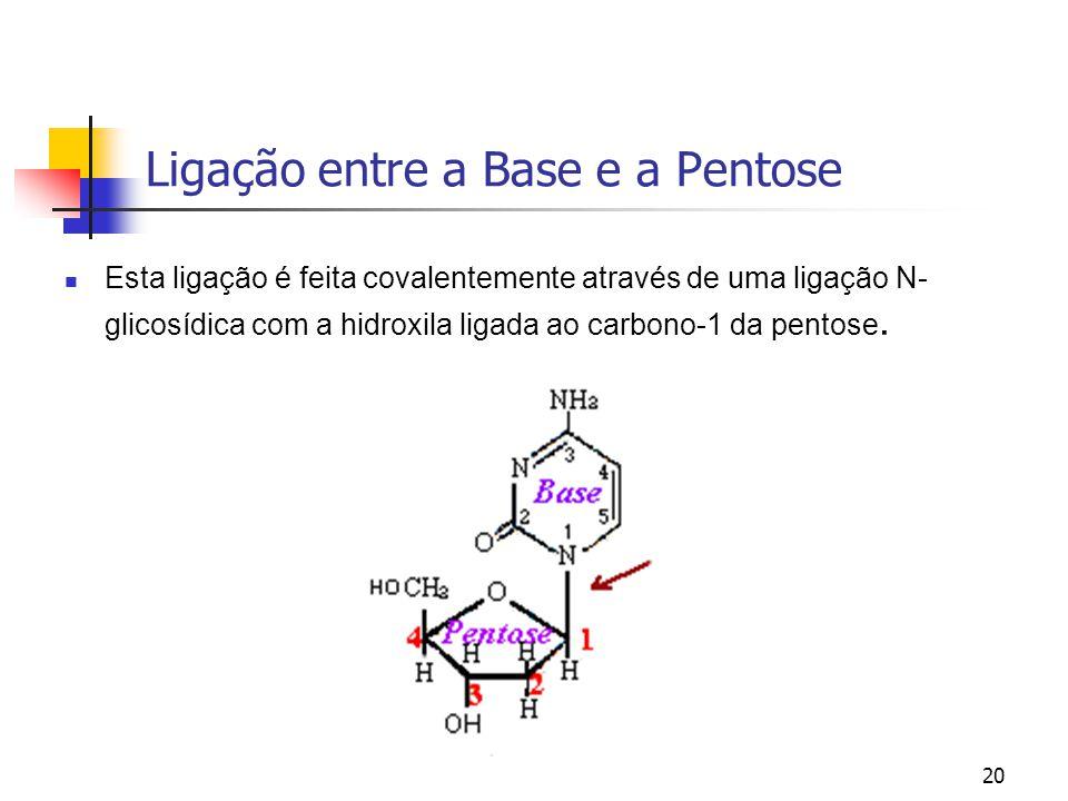 20 Ligação entre a Base e a Pentose Esta ligação é feita covalentemente através de uma ligação N- glicosídica com a hidroxila ligada ao carbono-1 da p