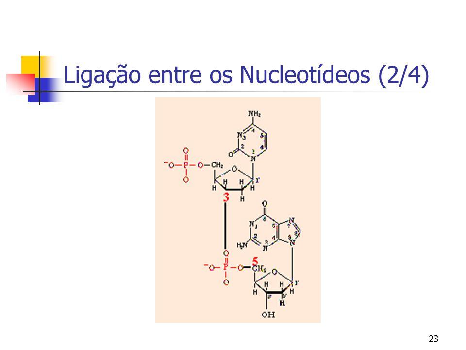 23 Ligação entre os Nucleotídeos (2/4)