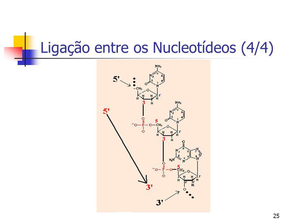25 Ligação entre os Nucleotídeos (4/4)