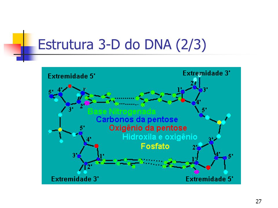 27 Estrutura 3-D do DNA (2/3)