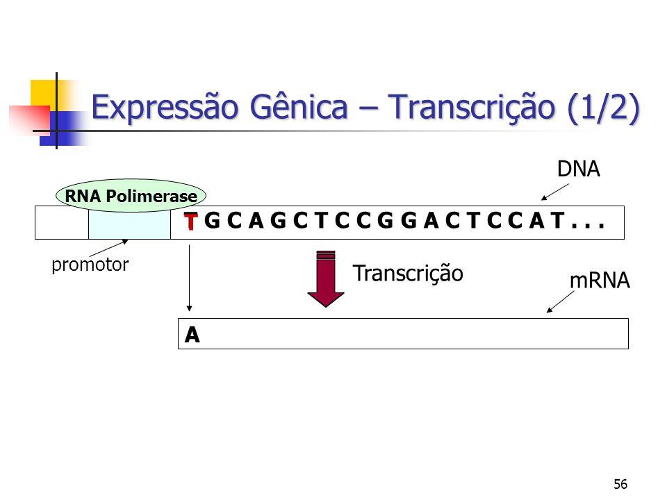 56 Expressão Gênica – Transcrição (1/2) T G C A G C T C C G G A C T C C A T... RNA Polimerase promotor Transcrição DNA mRNA A T