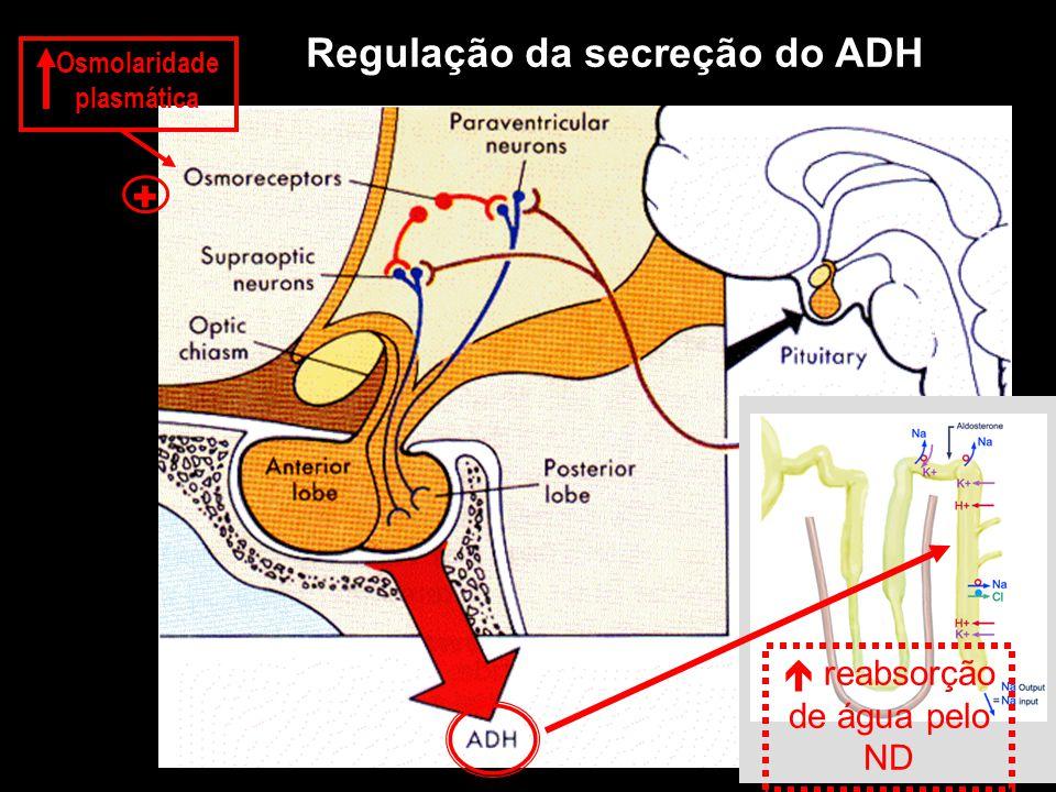 Osmolaridade plasmática + Regulação da secreção do ADH  reabsorção de água pelo ND
