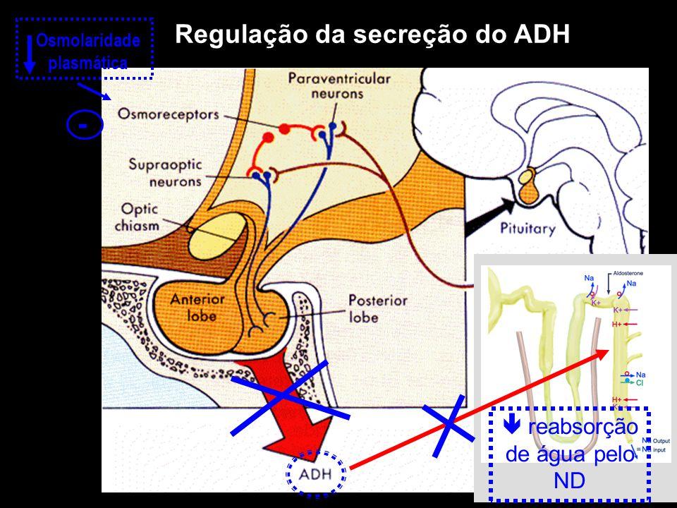 Regulação da secreção do ADH  reabsorção de água pelo ND Osmolaridade plasmática -