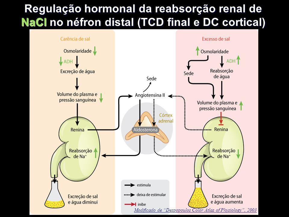 """Regulação hormonal da reabsorção renal de NaCl no néfron distal (TCD final e DC cortical) Modificado de """"Despopoulos Color Atlas of Physiology"""", 2003"""