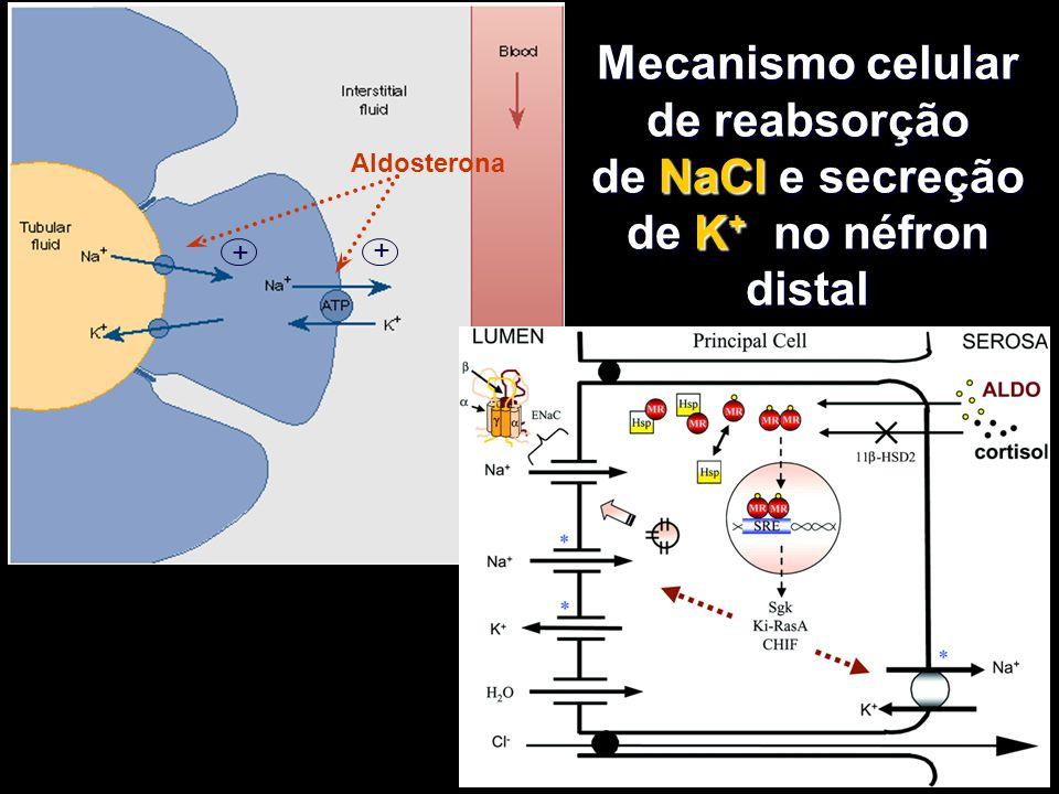Mecanismo celular de reabsorção de NaCl e secreção de K + no néfron distal Aldosterona + +