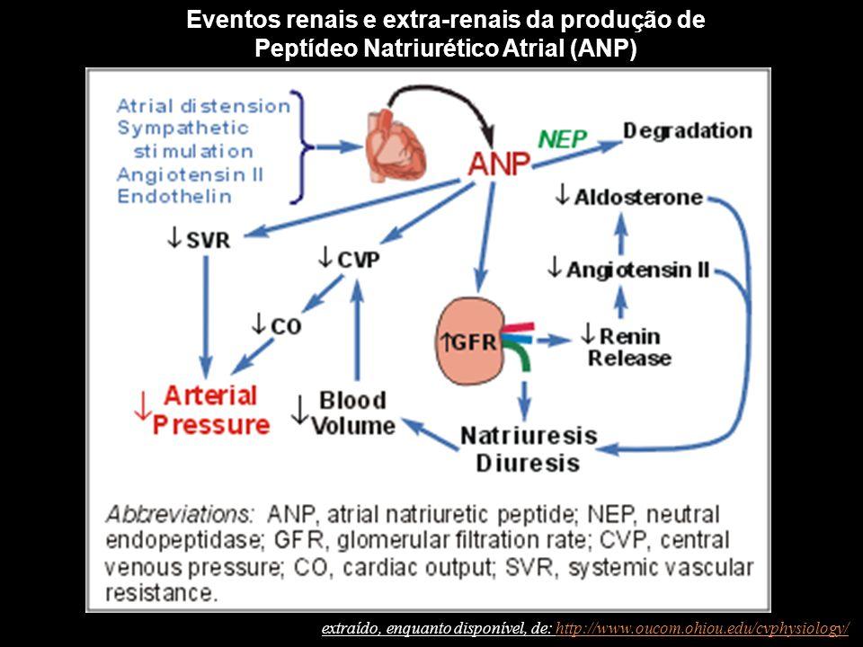 Eventos renais e extra-renais da produção de Peptídeo Natriurético Atrial (ANP) extraído, enquanto disponível, de: http://www.oucom.ohiou.edu/cvphysiology/http://www.oucom.ohiou.edu/cvphysiology/