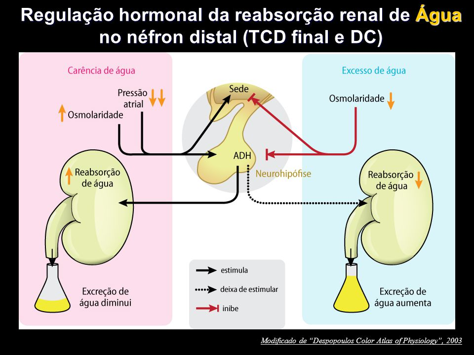 """Regulação hormonal da reabsorção renal de Água no néfron distal (TCD final e DC) Modificado de """"Despopoulos Color Atlas of Physiology"""", 2003"""