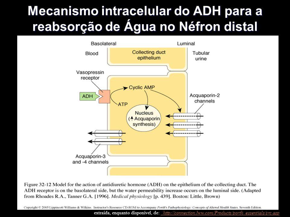 Mecanismo intracelular do ADH para a reabsorção de Água no Néfron distal extraída, enquanto disponível, de: http://connection.lww.com/Products/porth_essentials/src.asp http://connection.lww.com/Products/porth_essentials/src.asp