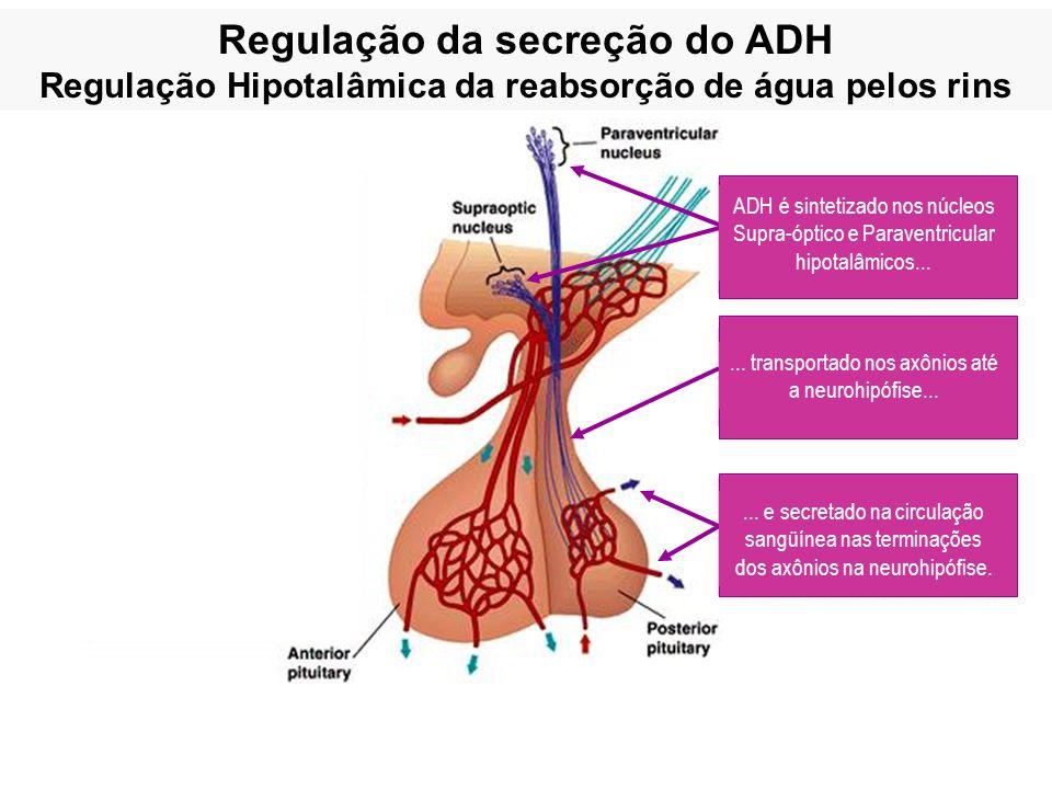 Regulação da secreção do ADH Regulação Hipotalâmica da reabsorção de água pelos rins... e secretado na circulação sangüínea nas terminações dos axônio