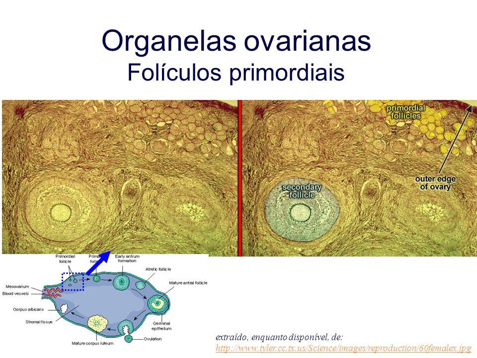 Organelas ovarianas Folículos primordiais extraído, enquanto disponível, de: http://www.tyler.cc.tx.us/Science/images/reproduction/60femalex.jpg http:
