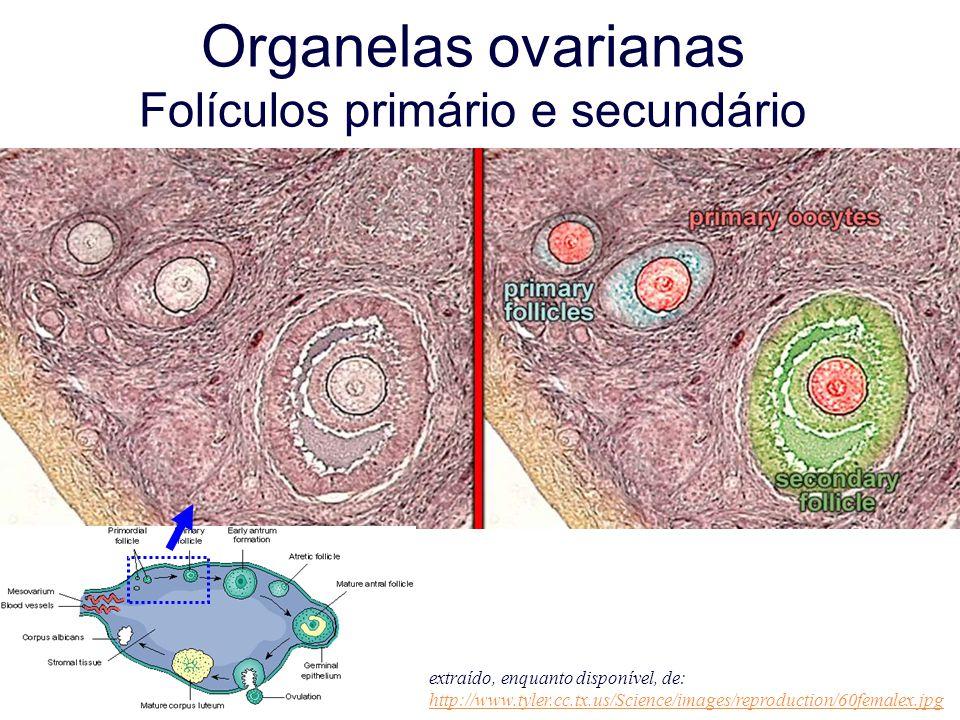 Organelas ovarianas Folículos primário e secundário extraído, enquanto disponível, de: http://www.tyler.cc.tx.us/Science/images/reproduction/60femalex