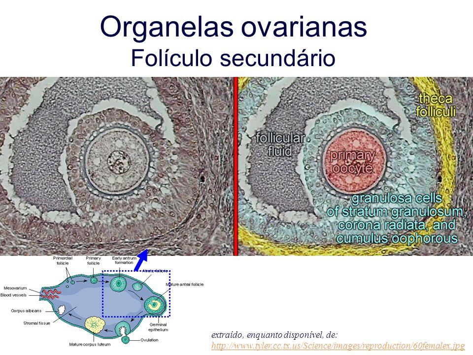 Organelas ovarianas Folículo secundário extraído, enquanto disponível, de: http://www.tyler.cc.tx.us/Science/images/reproduction/60femalex.jpg http://