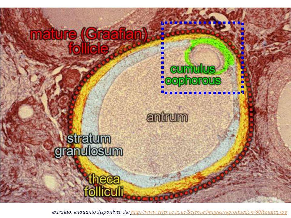 extraído, enquanto disponível, de: http://www.tyler.cc.tx.us/Science/images/reproduction/60femalex.jpghttp://www.tyler.cc.tx.us/Science/images/reprodu