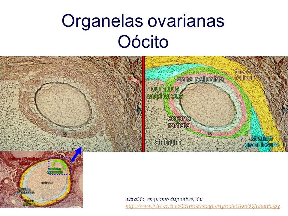 Organelas ovarianas Oócito extraído, enquanto disponível, de: http://www.tyler.cc.tx.us/Science/images/reproduction/60femalex.jpg http://www.tyler.cc.