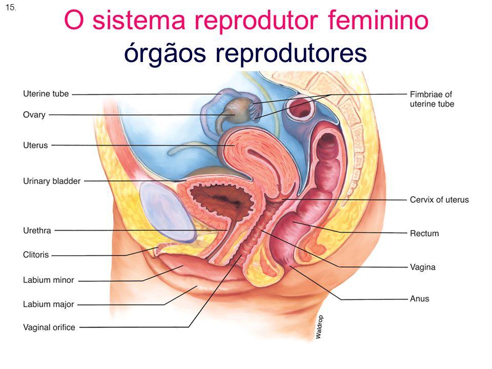 15.12 O sistema reprodutor feminino órgãos reprodutores